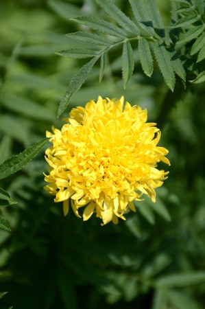 yellow marigold flower in nature garden 版權商用圖片