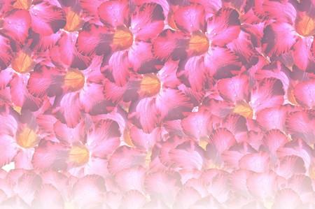 obesum: pink adenium obesum flower pattern background Stock Photo