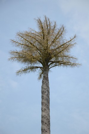 date palm: Date Palm or Phoenix dactylifera tree in nature garden Stock Photo