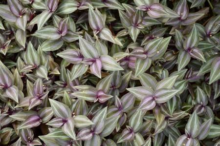 Tradescantia zebrina plants in nature garden