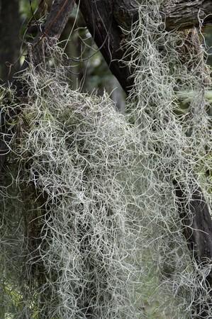 tillandsia: Tillandsia usneoides in nature garden Stock Photo