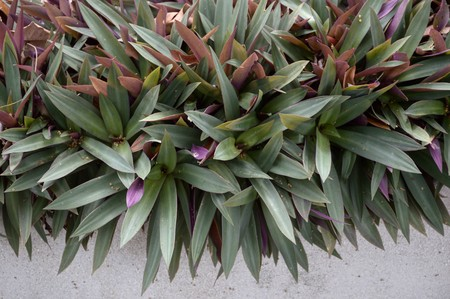 tradescantia spathacea plants in nature garden
