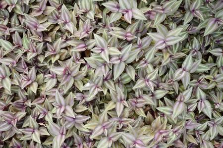 Tradescantia zebrina plants in nature garden Imagens - 67102916