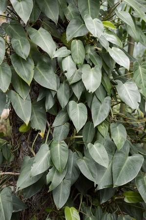 fresh green epipremnum aureum plants in nature garden Stock Photo