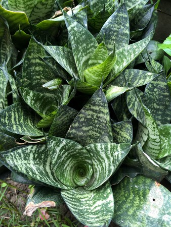 sansevieria plant in nature garden