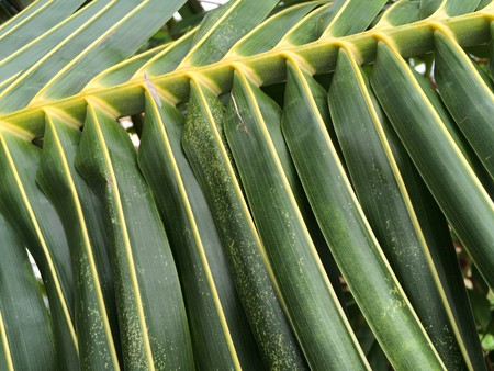 green coconut leaves texture