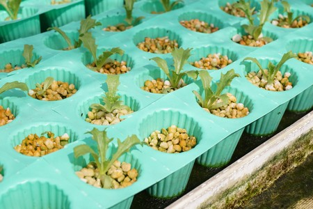 fresh organic plant in hydroponic vegetable field