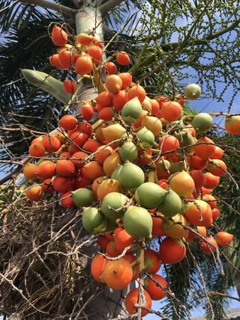 areca catechu fruit in nature garden Stock Photo
