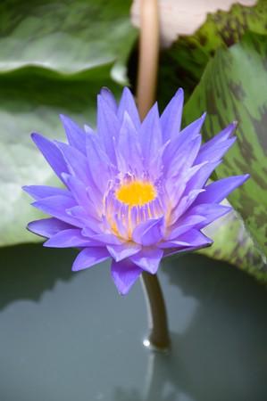 blue lotus flower in nature garden