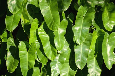 fresh green philodendron leaves in garden