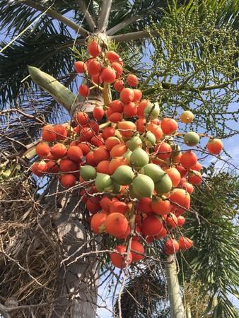areca palm fruit in nature garden Stock Photo