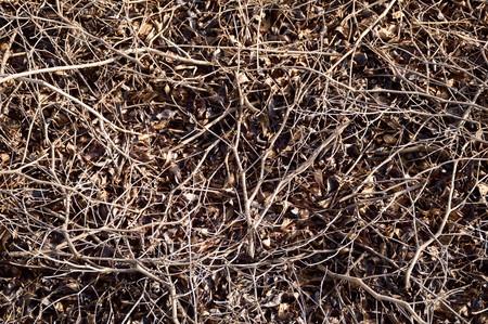 shrunken: dry terminalia ivorentsis tree on the ground Stock Photo