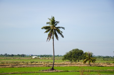 coconut tree in country Thailand Stock Photo