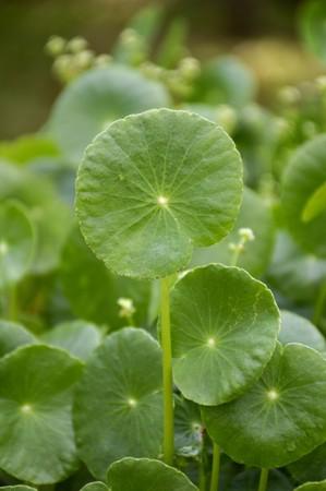 rotunda: fresh green hydrocotyle umbellata plant in nature garden Stock Photo