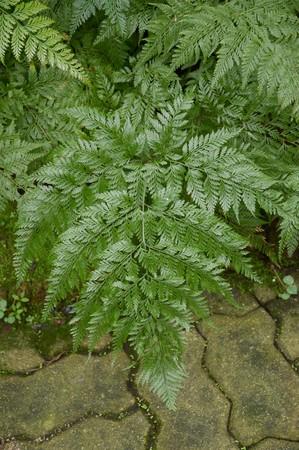 fresh green davallia trichomanoides plant in nature garden Stock Photo