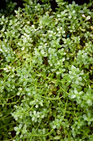 Bacopa monnieri plant in nature garden