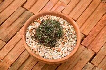 fresh green cactus tree on brick floor Stock Photo