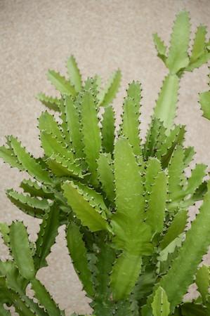 cactus tree in nature garden 版權商用圖片