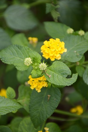 lantana camara: yellow lantana camara flower in nature garden