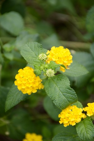 lantana: yellow lantana camara flower in nature garden