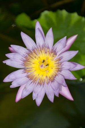purple lotus flower in nature garden Stock Photo