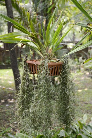 tillandsia: tillandsia usneoides plant in nature garden