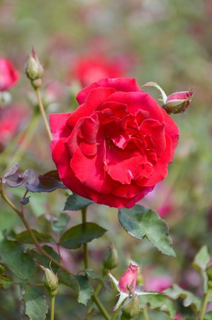 red damask rose flower in garden