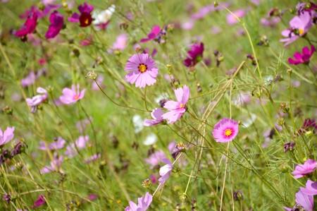 コスモス花色の花自然園 ロイヤ...