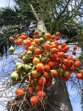 palm fruit in nature garden