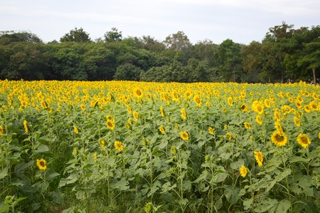 helianthus: sunflower in nature garden Stock Photo