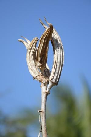 close up dry abelmochus esculentus seed