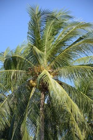 coconut tree in nature garden Stock Photo