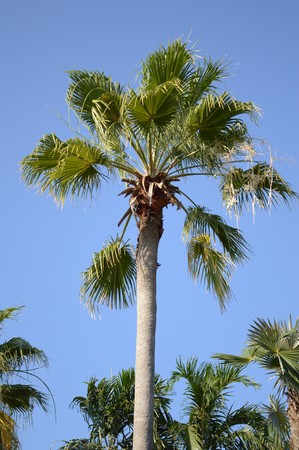areca catechu tree in nature garden