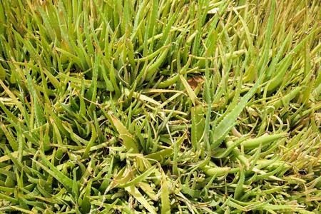 aloe barbadensis: fresh green aloe vera plants in nature garden
