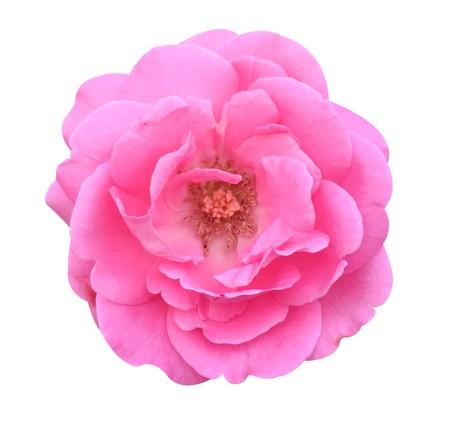 roze damast roos bloem op een witte achtergrond Stockfoto