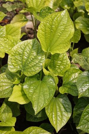 fresh green betel piper plant in nature garden