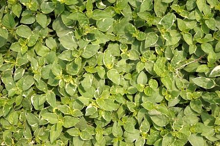 fresh green asystasia gangetica plant in nature garden
