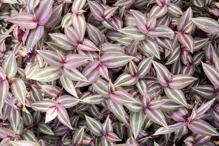 Tradescantia zebrina plant in nature garden Imagens