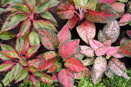 beautiful aglaonema plant in nature garden