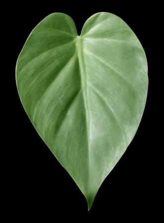 green epipremnum aureum leaves on black background