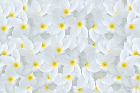 white plumeria flower pattern background