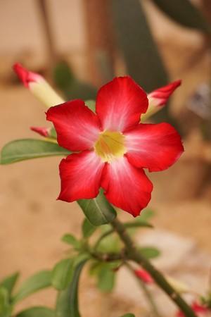 red Adenium obesum flower in nature garden Stock Photo