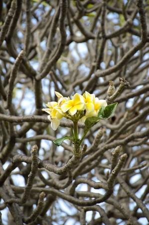 white plumeria flower in nature garden 版權商用圖片
