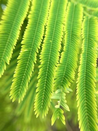 fresh green Acacia pennata plant in nature garden