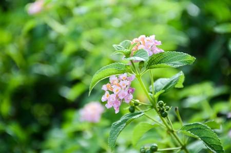 lantana camara: Lantana Camara flower in the garden
