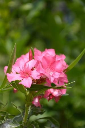 Nerium oleander flower in nature garden