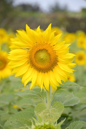 yellow sunflower in nature garden Stock Photo