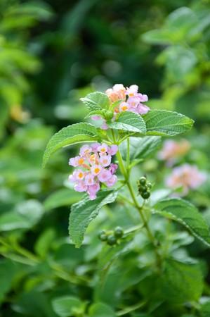 lantana: Lantana Camara flower in the garden