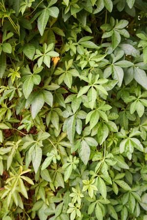 Ipomoea cairica plant in nature garden
