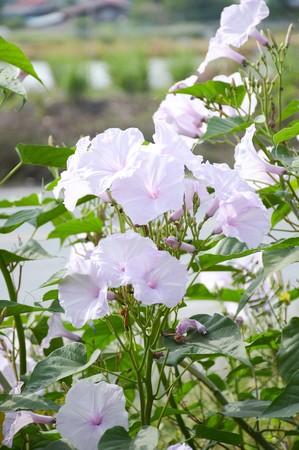 Bush Morning Glory flower in nature garden